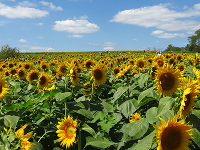 Sunflowers in Johnson County, KS--photo by Deb Staley