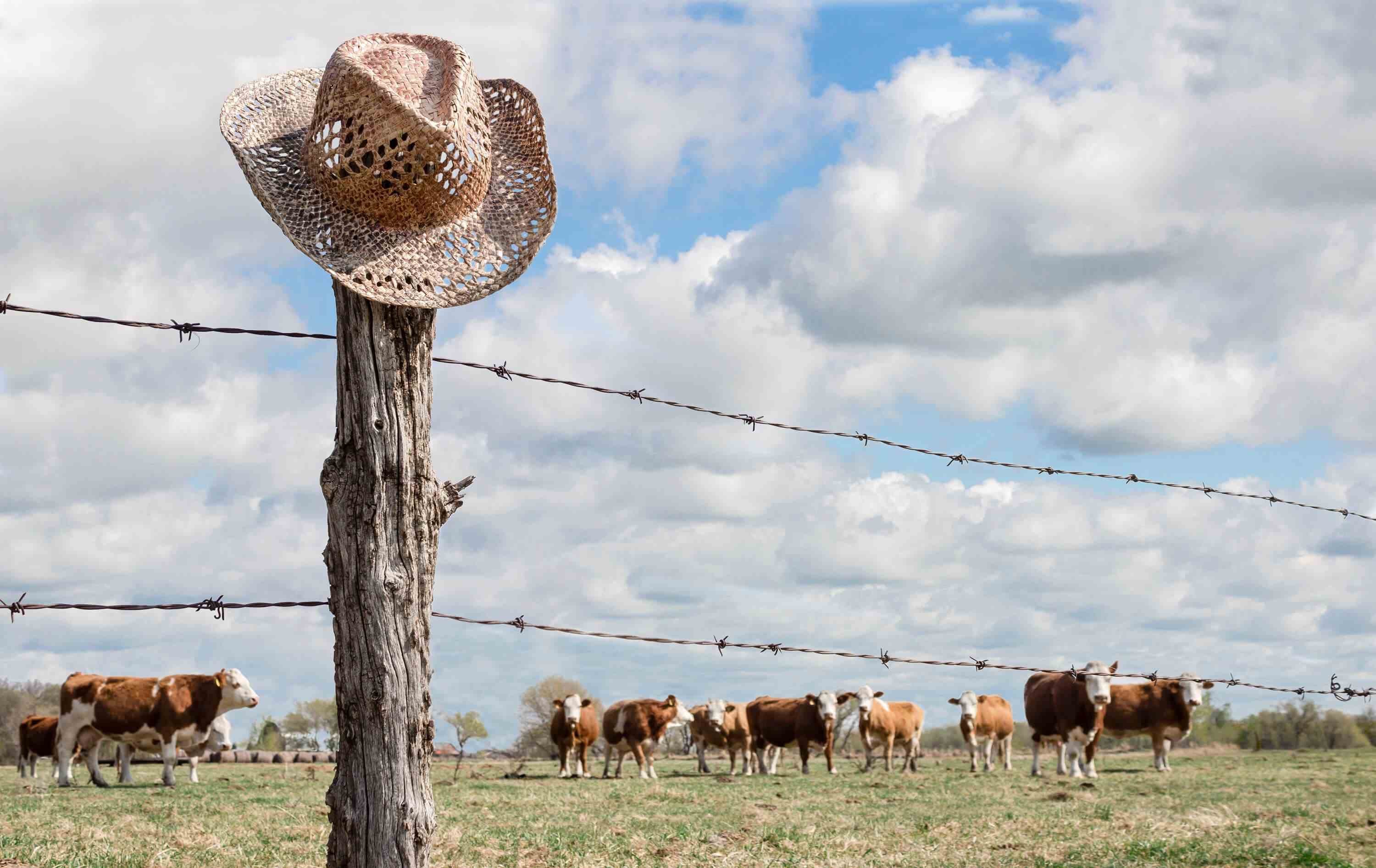 Straw cowboy hat on post of barbed wire fence with cows in background