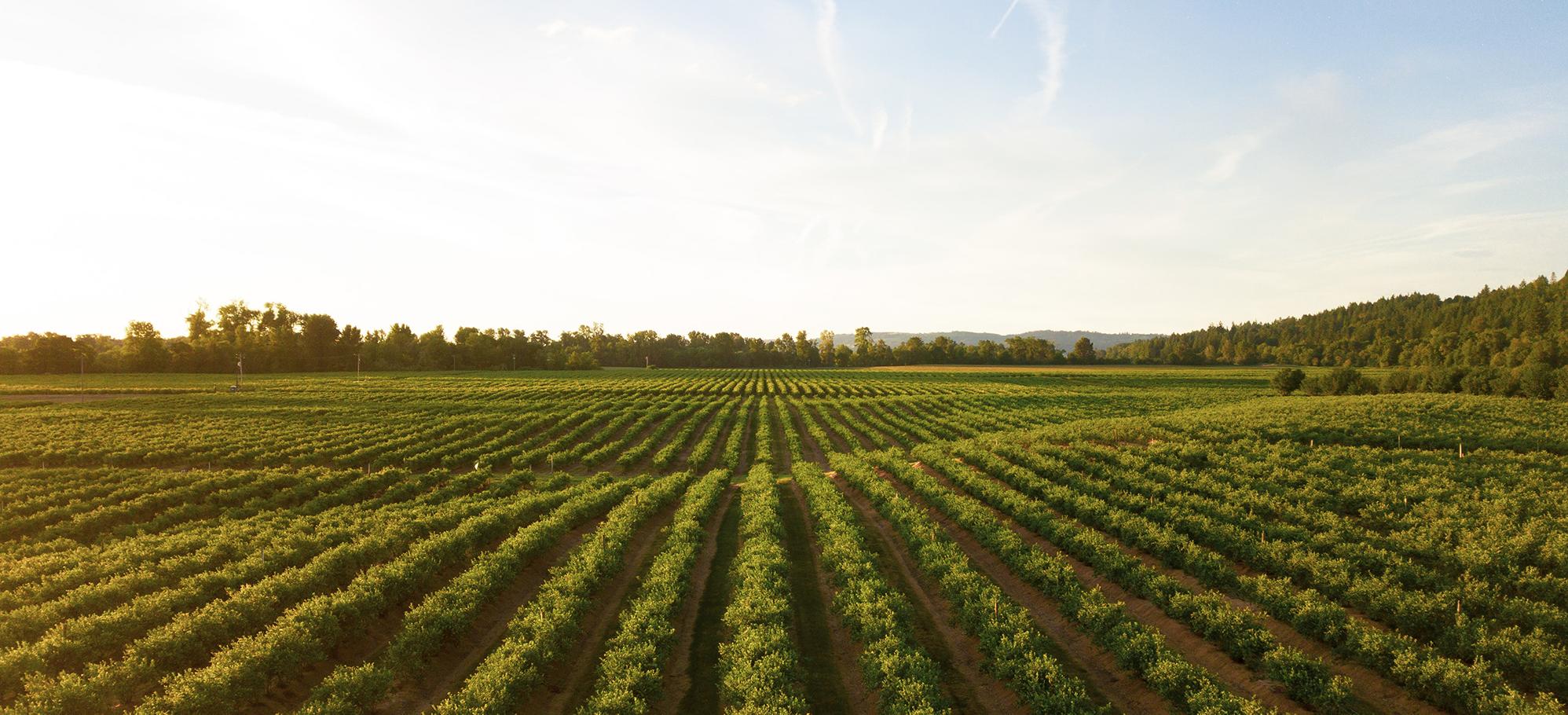 vineyard2.png