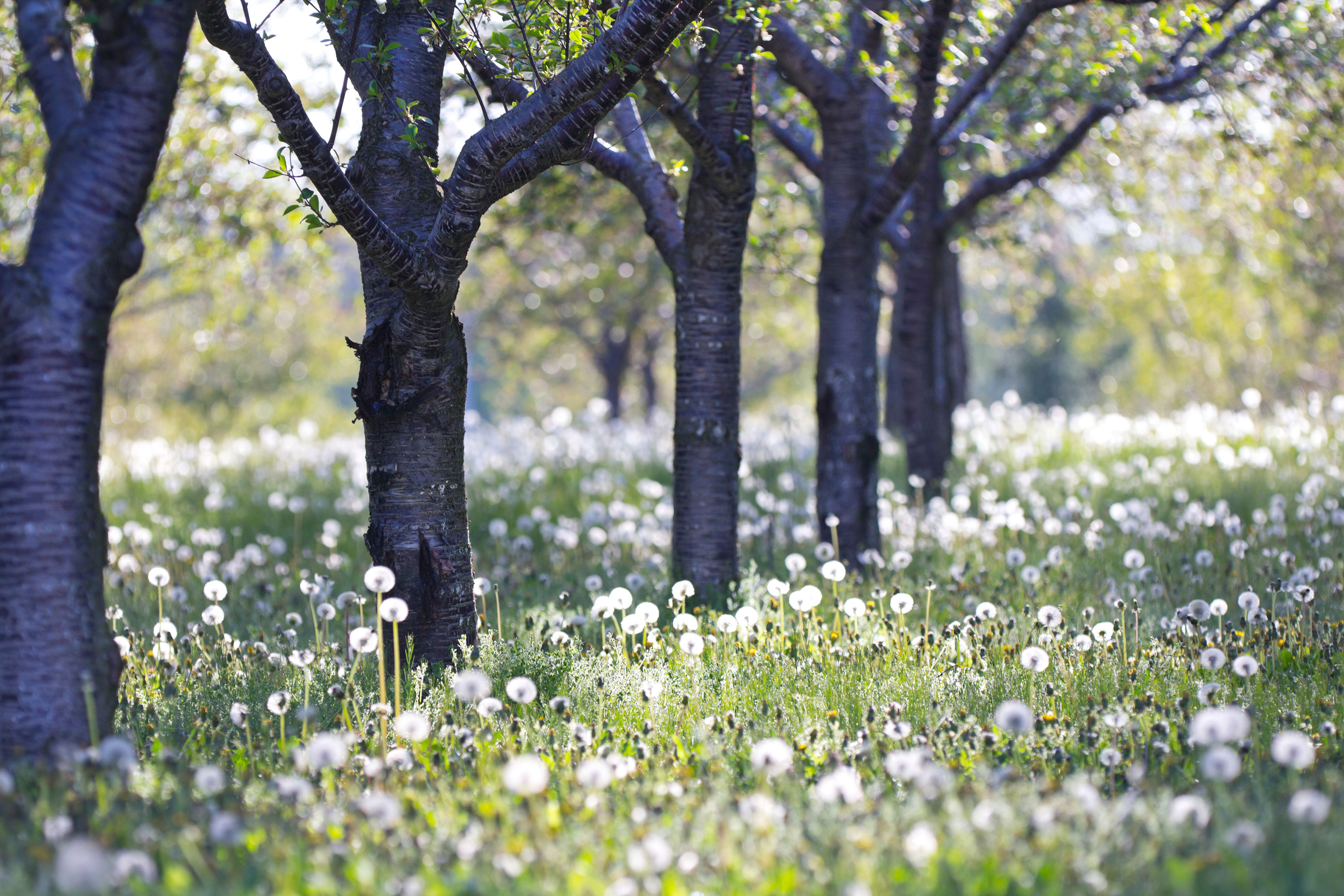View of tree trunks in field of white dandelions