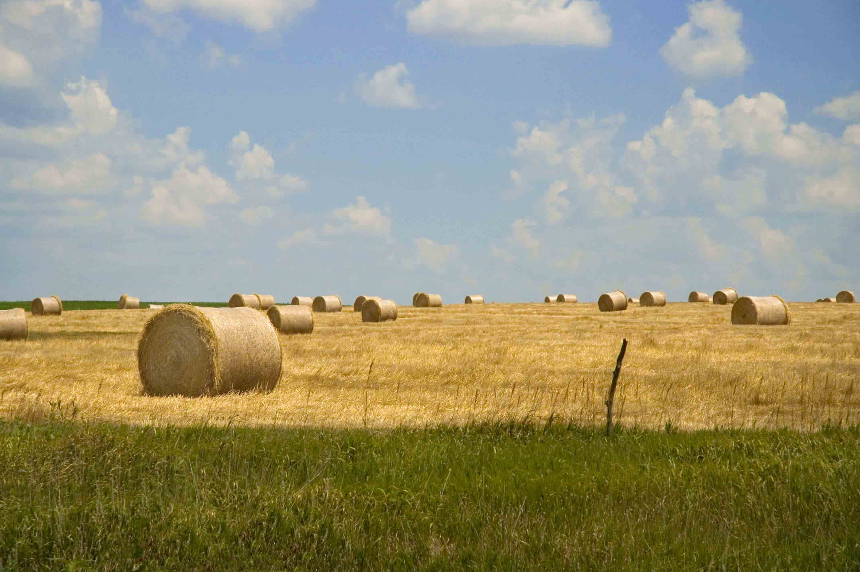 Rolled bales of hay in field