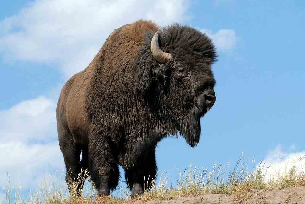 oklahomas-tallgrass-prairie-preserve-is-home-to-a-herd-of-2000-american-bison.jpeg