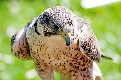 Falcon in Lenexa